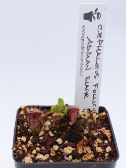 Cephalotus follicularis ,Marston Exotics, Ex Adrian Slack clone