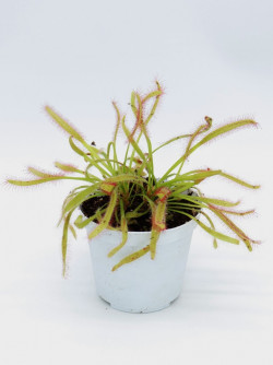 "Drosera capensis "" broad leaves """