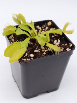 "Dionaea muscipula ""All green"""