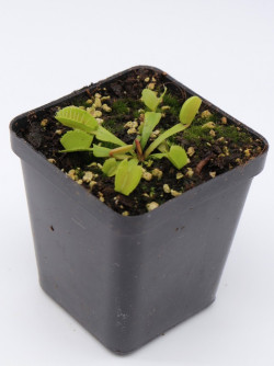 "Dionaea muscipula ""Belzebub"""