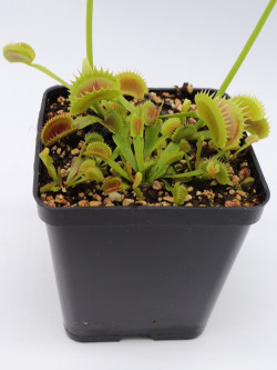 """Dionaea muscipula """"Star"""""""