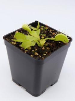"Dionaea muscipula "" Green..."