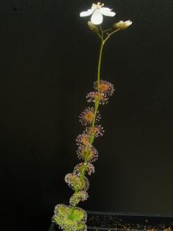 Drosera platypoda