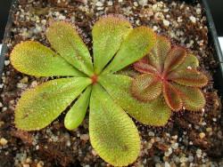 Drosera rosulata , Pintarra