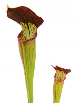 Sarracenia alata - dark red...
