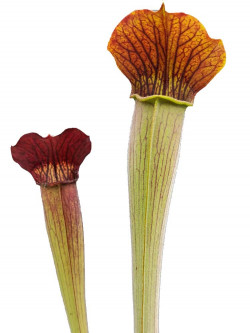 AL20 RVL Sarracenia alata var. rubrioperculata