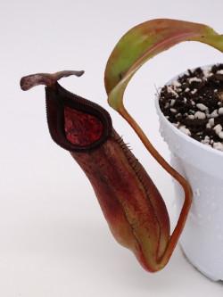 Nepenthes copelandi x lowii