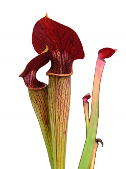 A05 MK Sarracenia alata var. atrorubra, all red, Mississippi