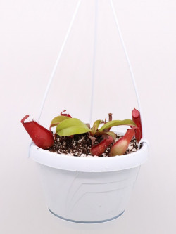 """Nepenthes """"Bloody mary"""""""