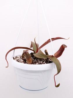 """Nepenthes """"Rebecca soper"""""""