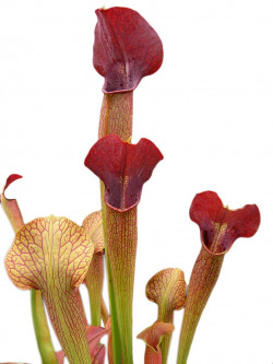 "A22 MK Sarracenia alata var. atrorubra ""All red""  large wide lid ,De Soto"