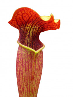 Sarracenia alata AL09 RVL Red tube , very tall , Stone Co.