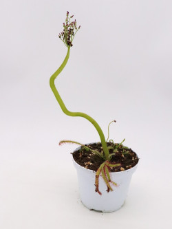 "Drosera capensis ""crested"""