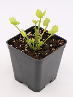 Dionaea muscipula 'Werewolf'