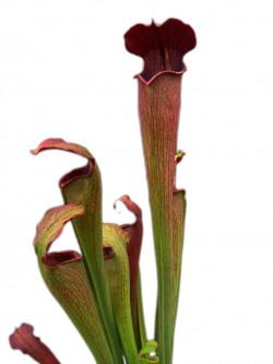 A27 MK Sarracenia alata var. nigropurpurea, black tube , De Soto