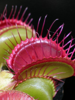 "Dionaea ""hard red line"""