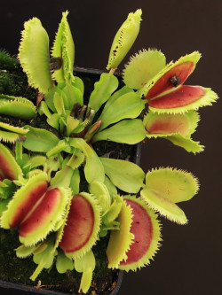"""Dionaea muscipula """"Giant clam"""""""