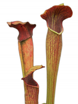 Sarracenia alata A39 MK  Purple tube, Desoto