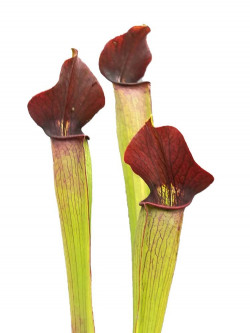 Sarracenia alata A59 MK  Large marroon throat