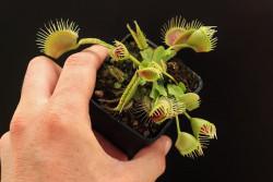 "Dionaea muscipula ""Funnel..."