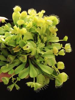 "Dionaea muscipula ""Double trouble"""