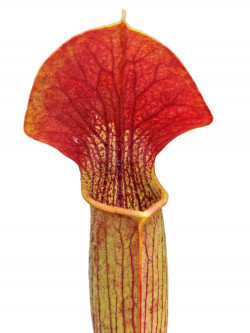 Sarracenia alata SA01 A.Selwin  red lid, black throat, pubescent