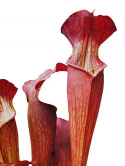 Sarracenia alata var. nigropurpurea  C.Klein