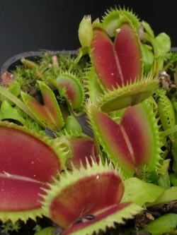 "Dionaea muscipula ""UK II"""