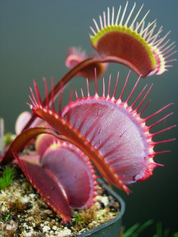 "Dionaea muscipula ""All Red..."
