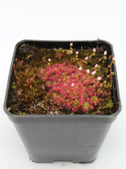 "Drosera sewelliae ""red"""