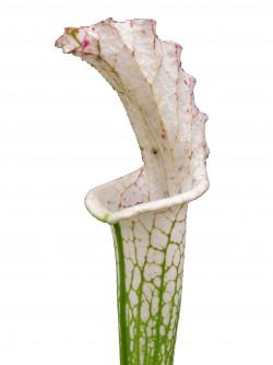 "Leucophylla ""Alba"" clone 16..."