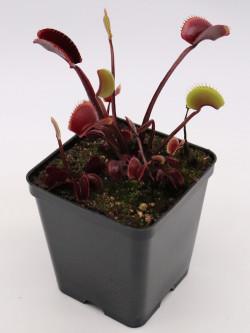 "Dionaea muscipula ""Archangel"""