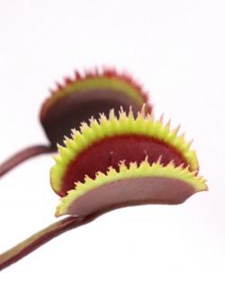 "Dionaea muscipula ""Bohemian garnet x Red piranha"""