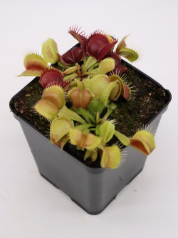 "Dionaea muscipula ""Galaxy"""