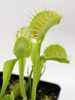 "Dionaea muscipula ""Gap teeth"""