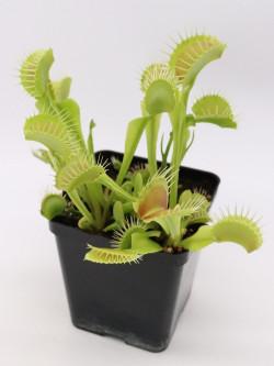 """Dionaea muscipula """"Gap teeth"""""""
