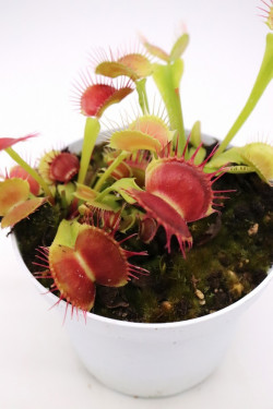 "Dionaea muscipula ""GC Flying monkey"""
