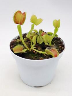 """Dionaea muscipula """"GC Madness"""""""