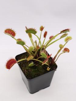 """Dionaea muscipula """"Giant  I 3"""""""