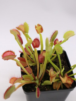"Dionaea muscipula ""Giant peach"""