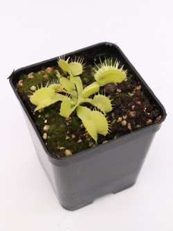 "Dionaea muscipula "" Green fused tooth """