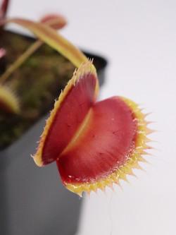 """Dionaea muscipula """"La grosse a guigui"""""""