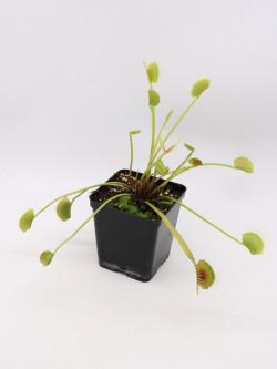 "Dionaea muscipula ""Long petiole"""