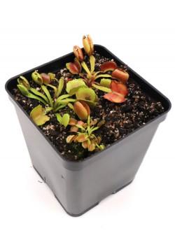"Dionaea muscipula ""Pacman"""