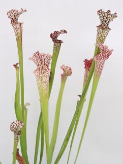 Sarracenia leucophylla mix vaso 10cm diam