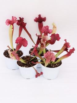 """Sarracenia purpurea ssp. venosa """"ruffled"""" x leucophylla var. alba"""""""