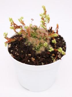Drosera micrantha
