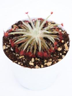 Drosera lanata x aff. derbyensis