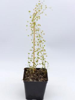 Drosera macrantha , Rock Outcrop