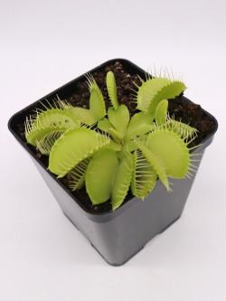 "Dionaea muscipula ""Green phalanx"""